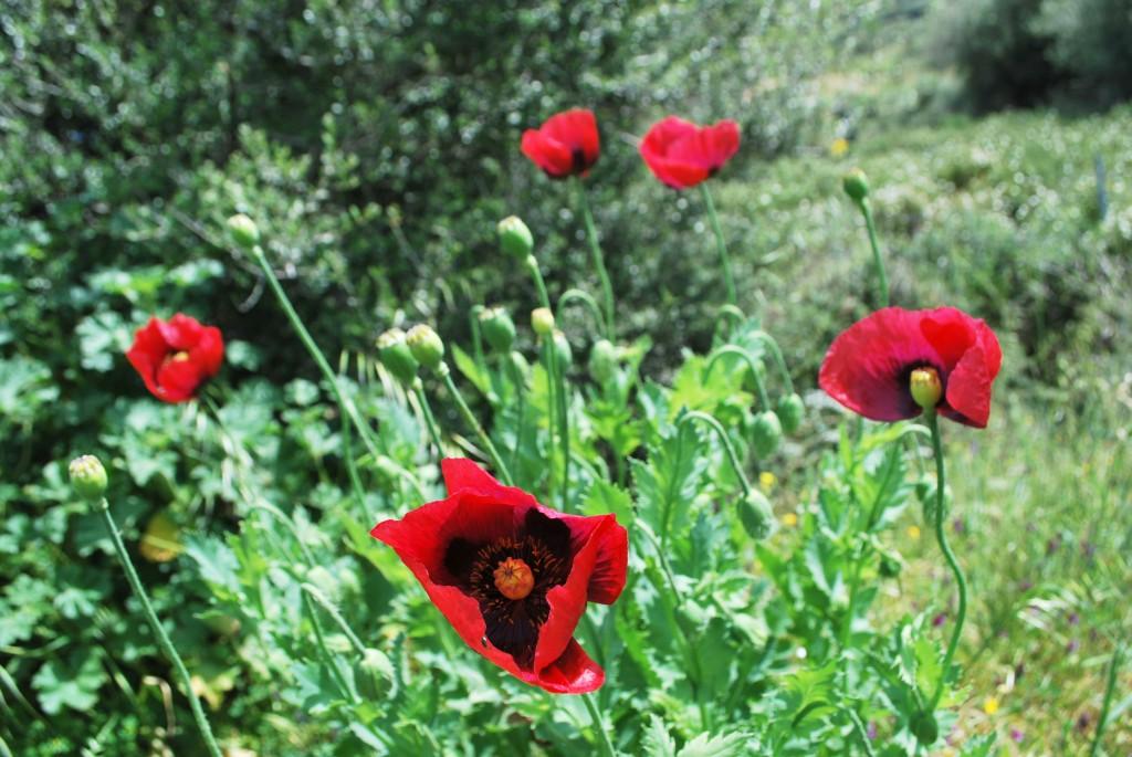 Papaveri Sardegna