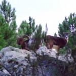 mufloni parco naturale