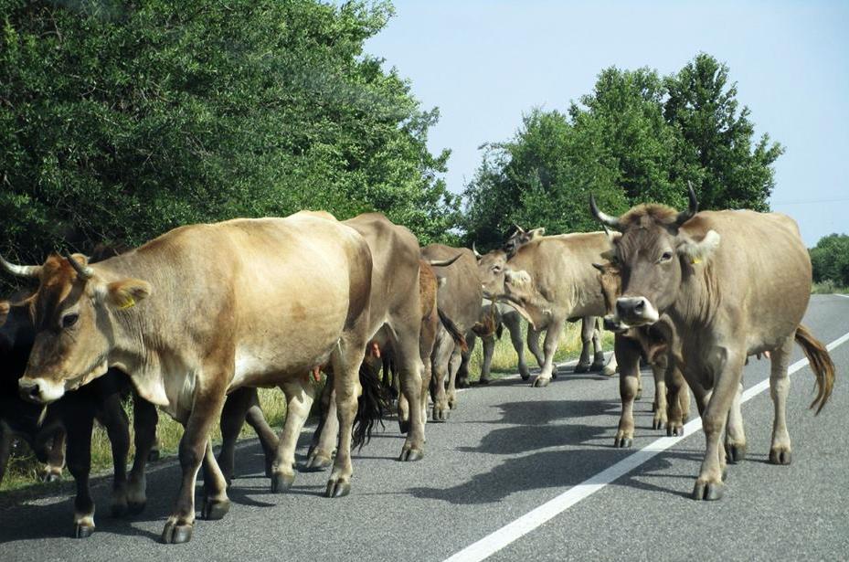 mucche sardegna